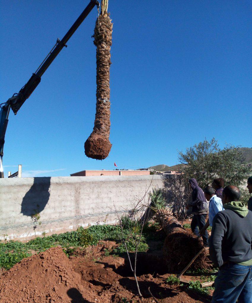Plantation palmier à Marrakech Maroc || Palm plantation in Marrakech Morocco